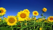 sunflowers 220